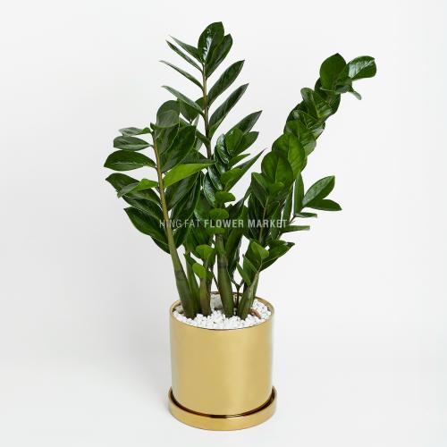 Plant - Zamioculcas