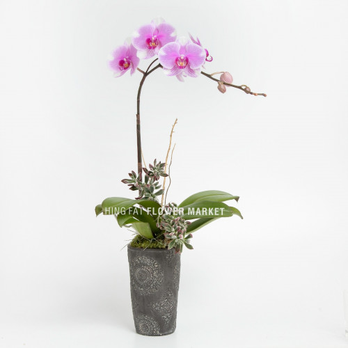 Pink orchid with succulent (single stem)