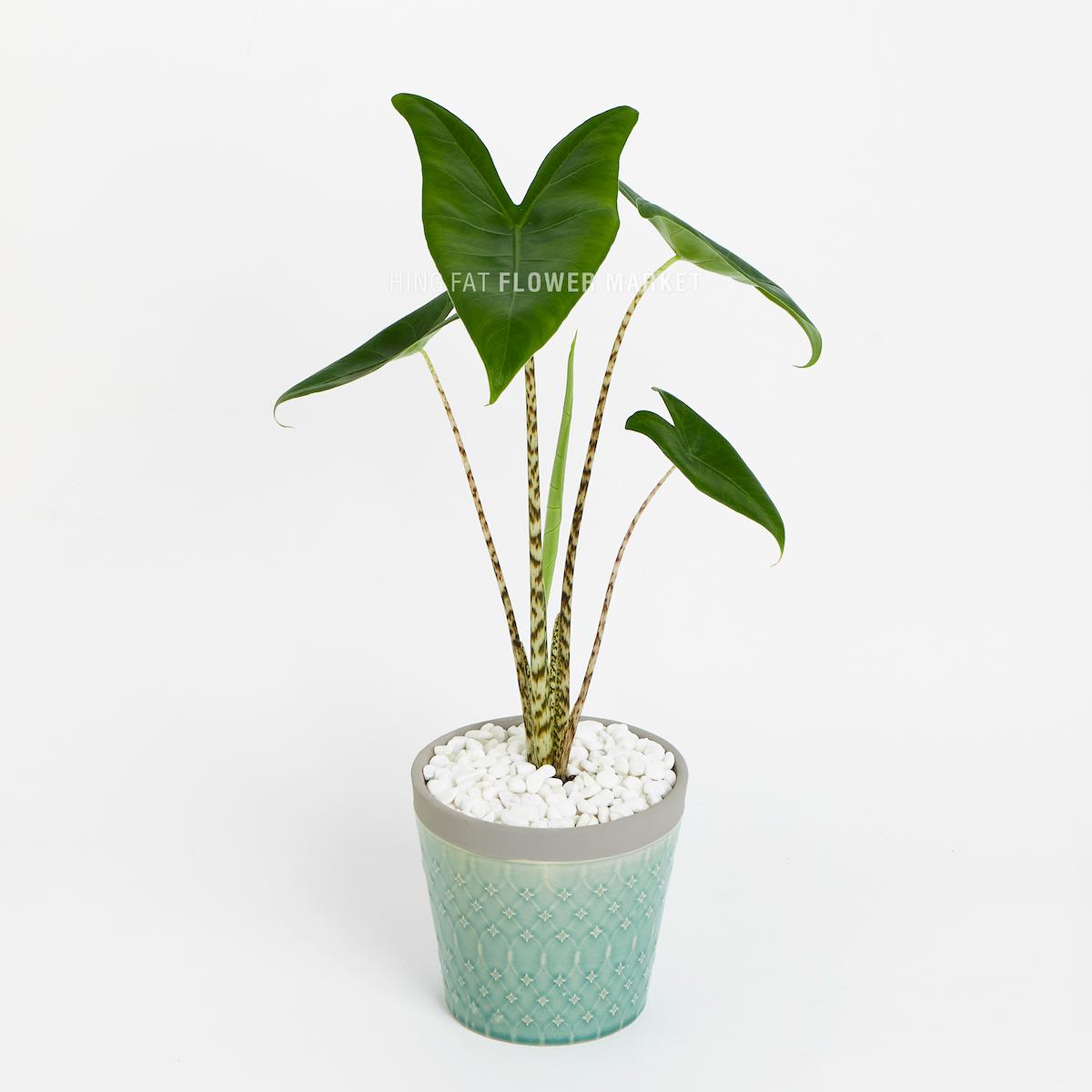 斑馬觀音蓮盆栽