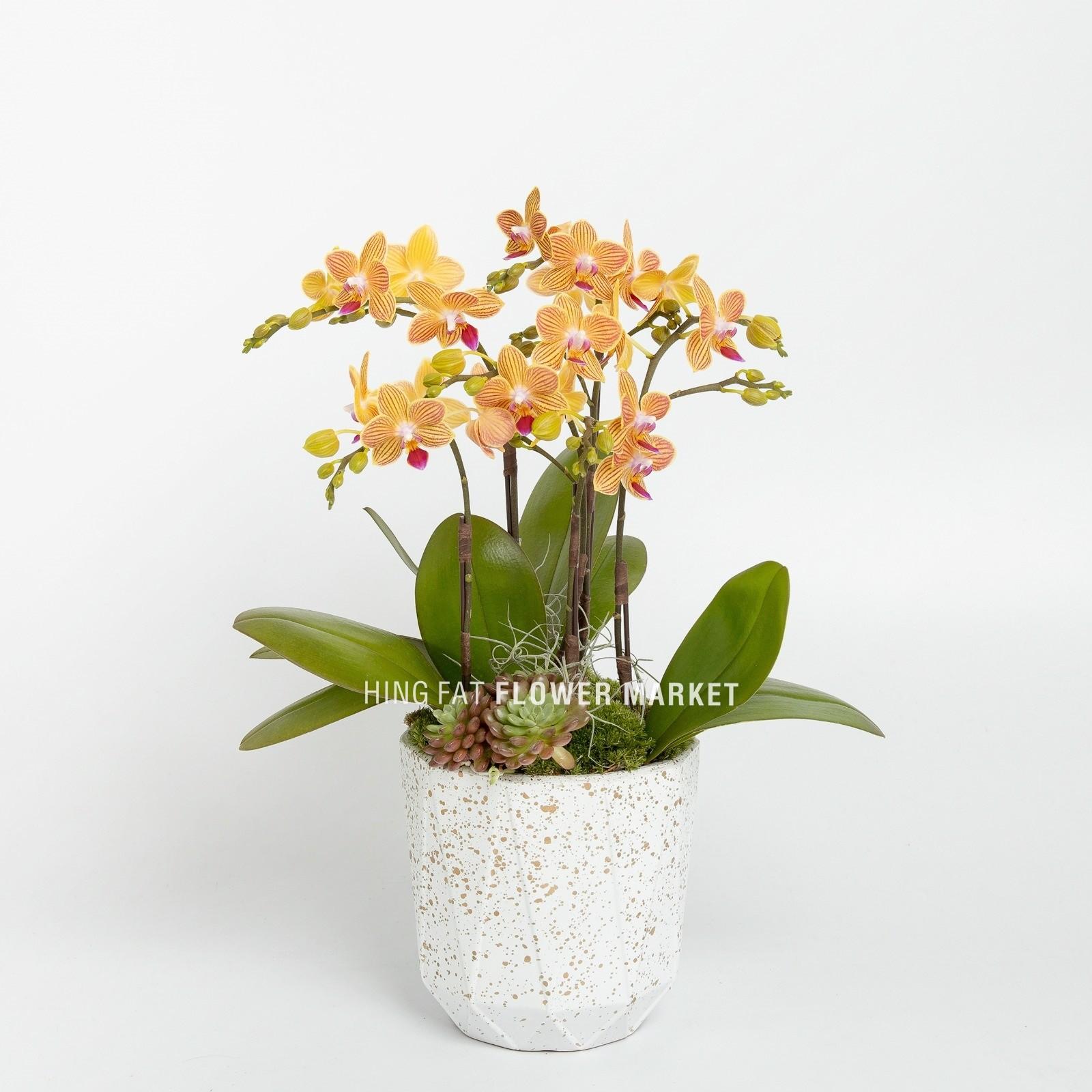3菖迷你橙蝴蝶蘭配多肉植物