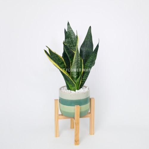 - 虎尾蘭盆栽連木架
