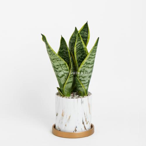 - 虎尾蘭盆栽