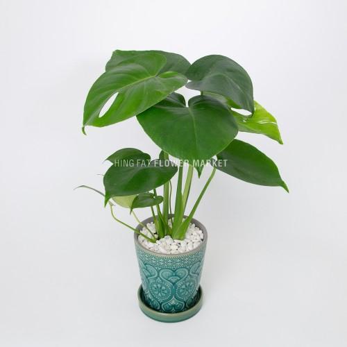 - 龜背竹盆栽